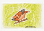 Hawfinch additional by Charles Dawson